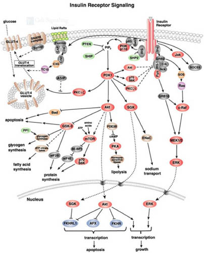 PKB_Akt_path_2 insulin signaling pathway diagram on battery wiring diagram